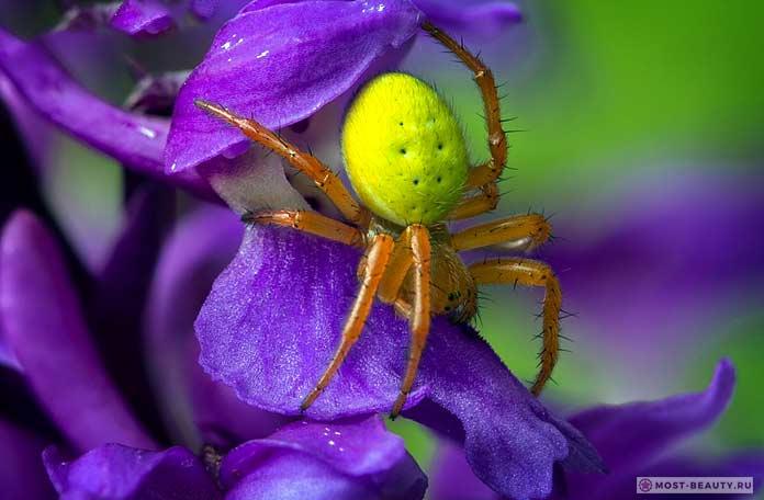 Желтосумный колющий паук. СС0