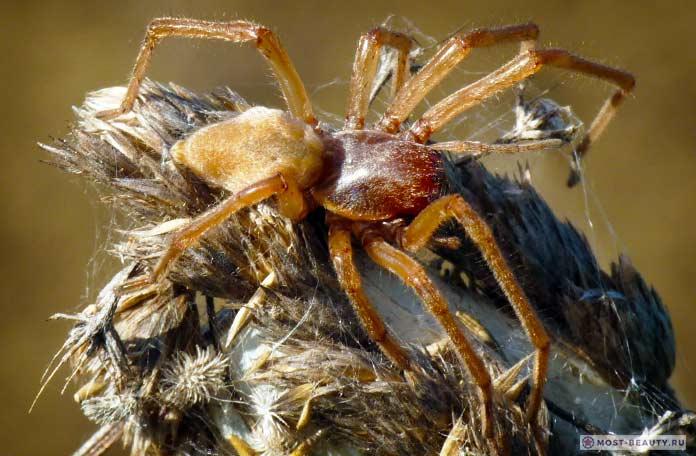 Жёлтый паук Сак