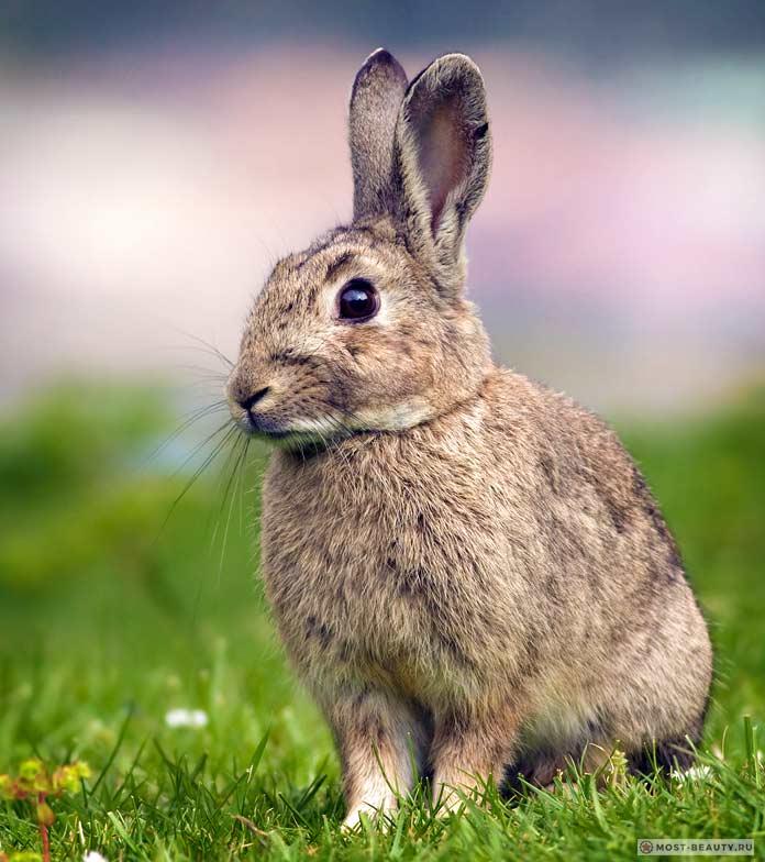 Заяц-толай - один из самых красивых видов зайцев. СС0