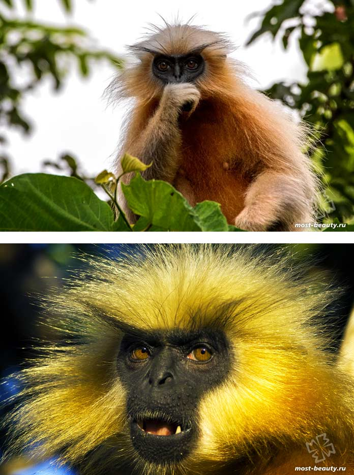 Самые красивые виды обезьян: Золотой лангур. СС0
