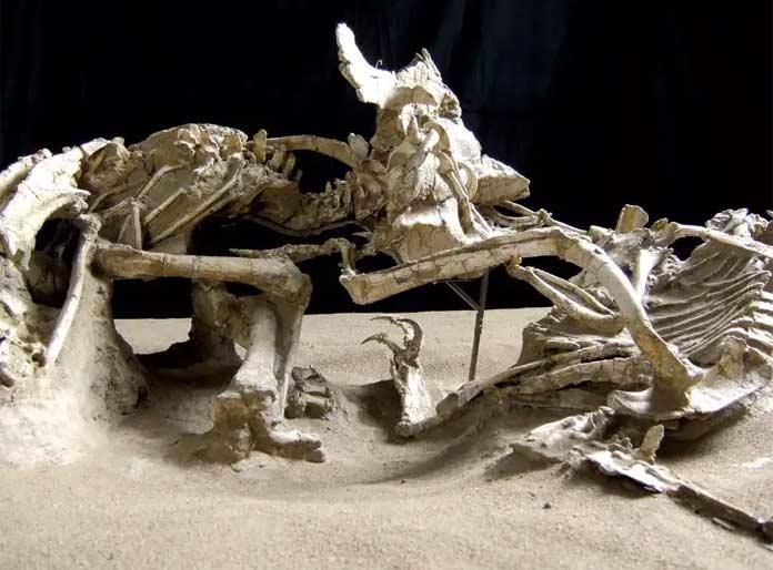 Окаменелости динозавров: Битва двух динозавров