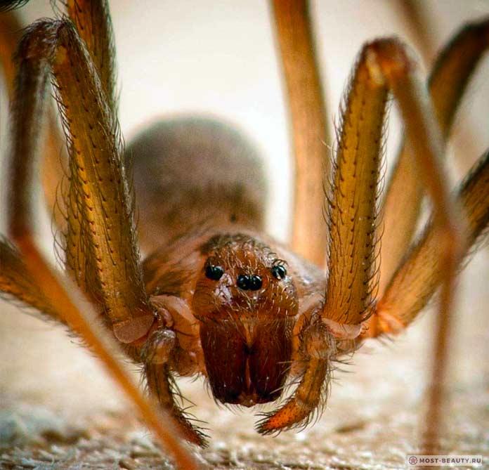 Самые ядовитые пауки: Паук отшельник