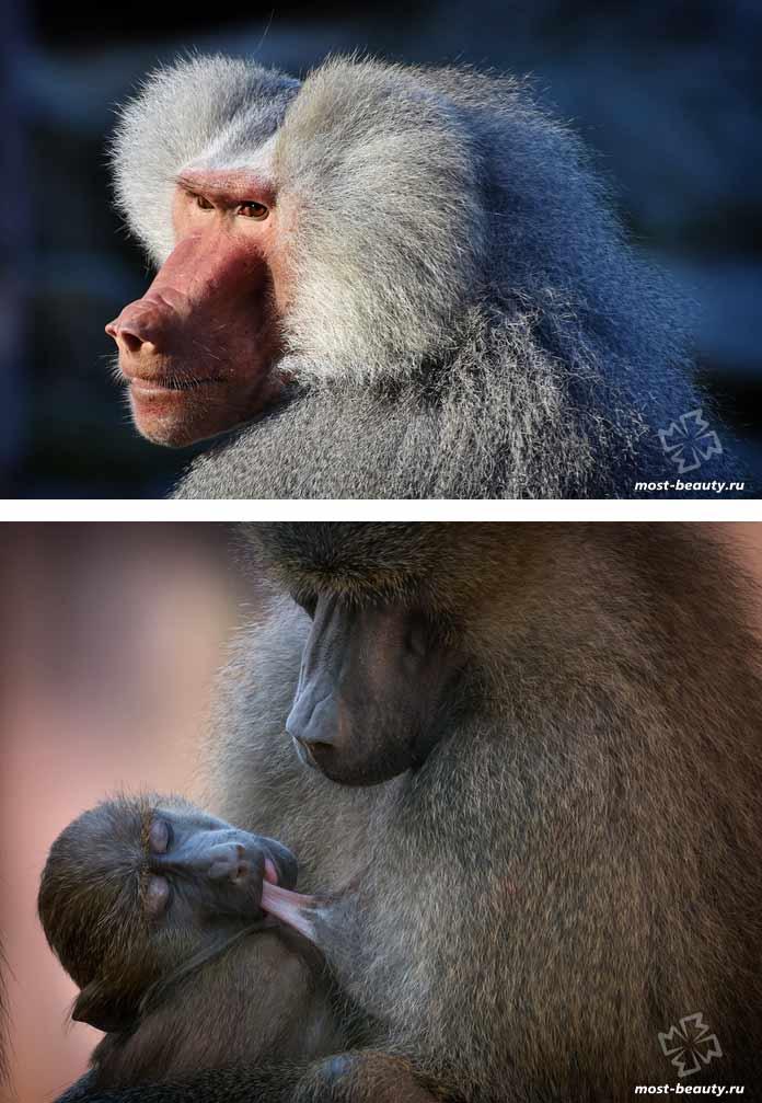Бабуин. CC0