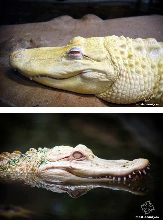 Белые крокодилы. СС0