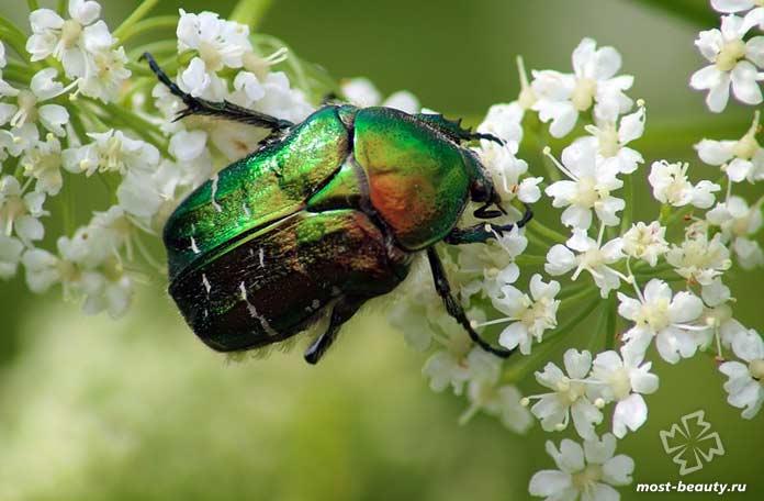 Удивительные виды жуков на фото: Бронзовка золотистая. СС0