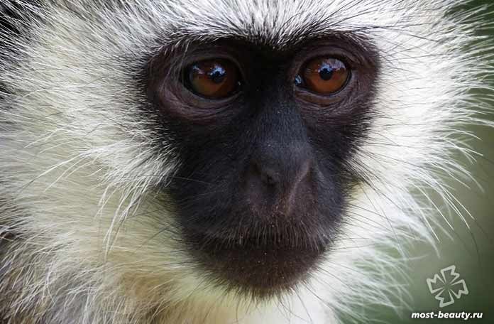 Домашние обезьянки