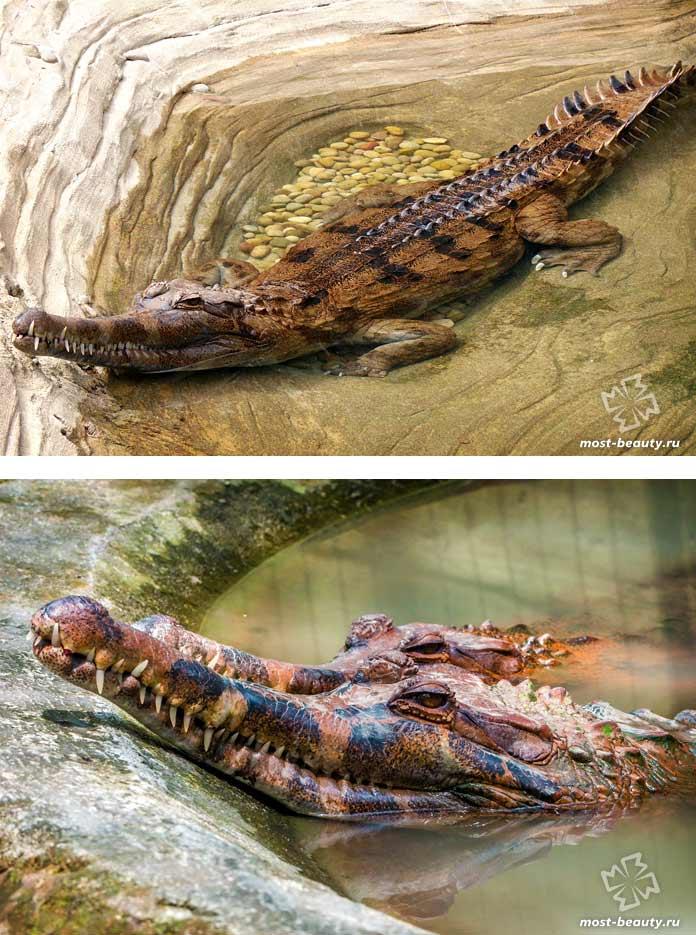 Гавиаловый крокодил. СС0