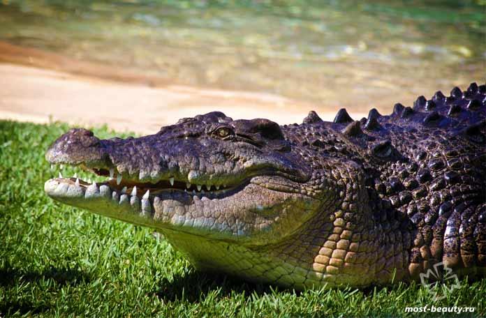Гребнистый крокодил. СС0