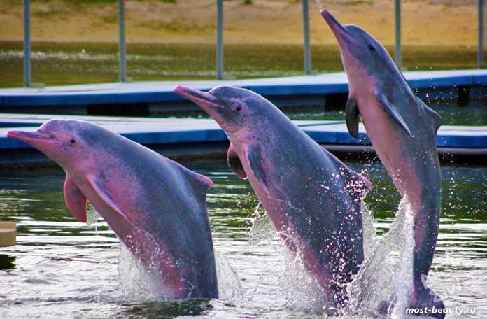 Китайский дельфин