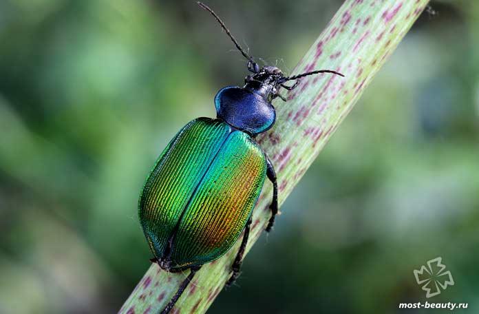 Самые красивые виды жуков: Красотел пахучий. СС0