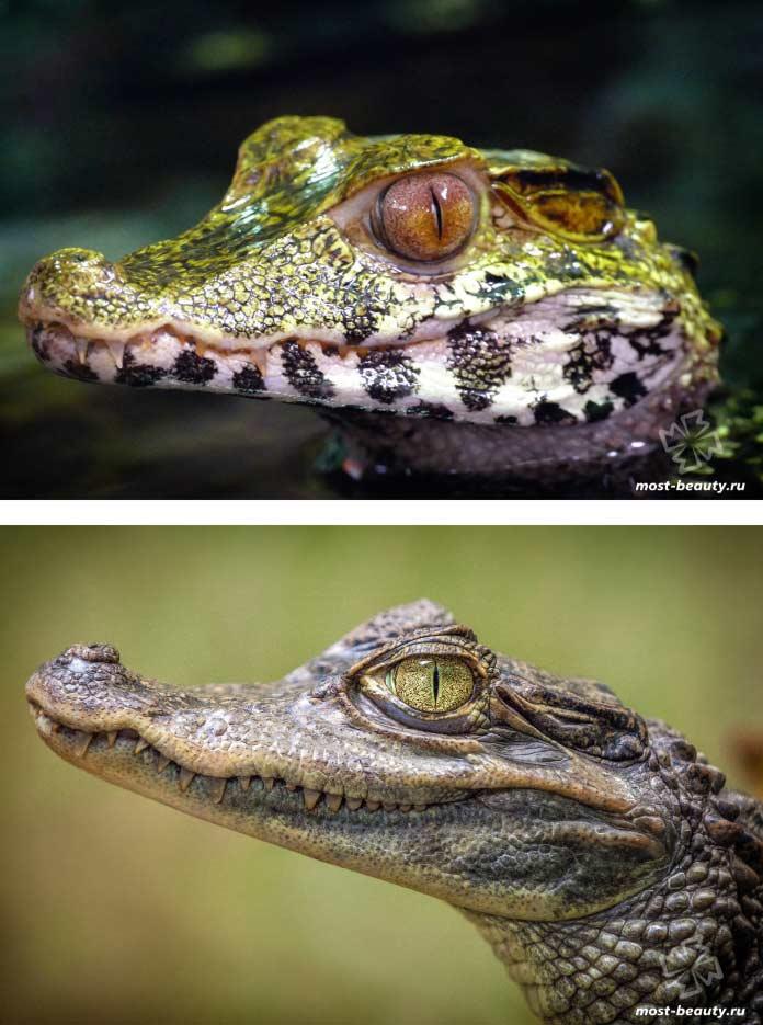 Красивые фото крокодилов. CC0