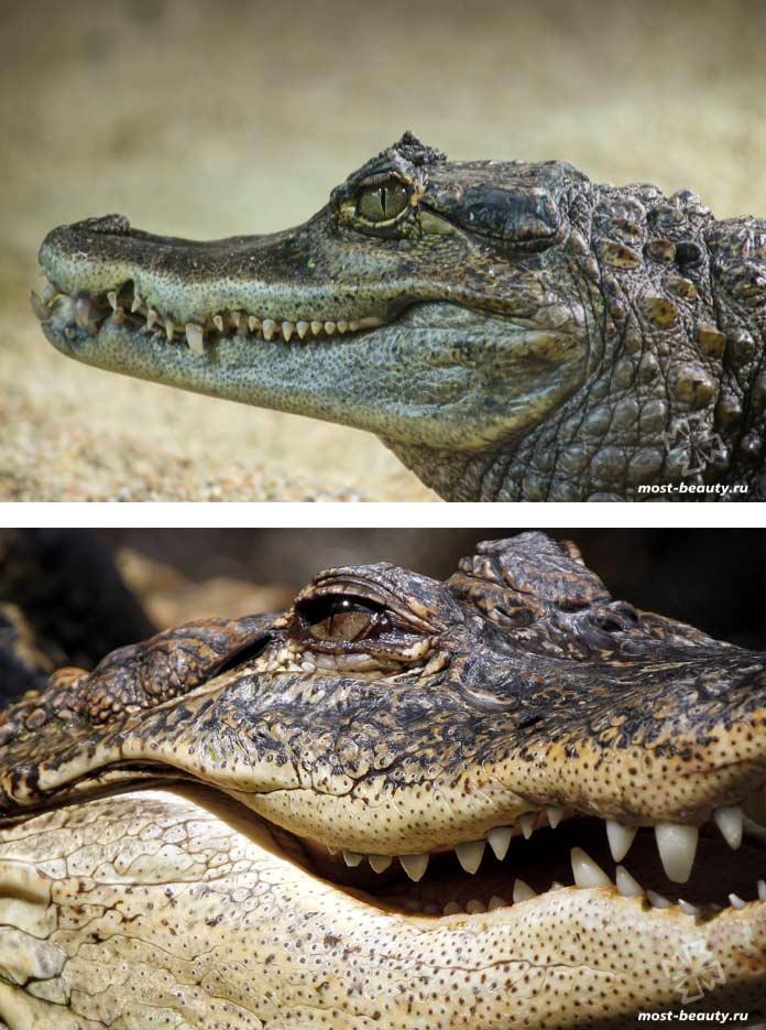 Самые красивые виды крокодилов. CC0