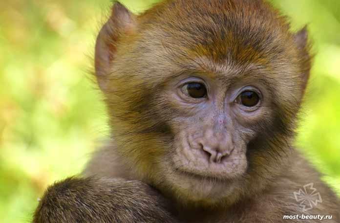 Самые красивые виды обезьян: Магот. CC0