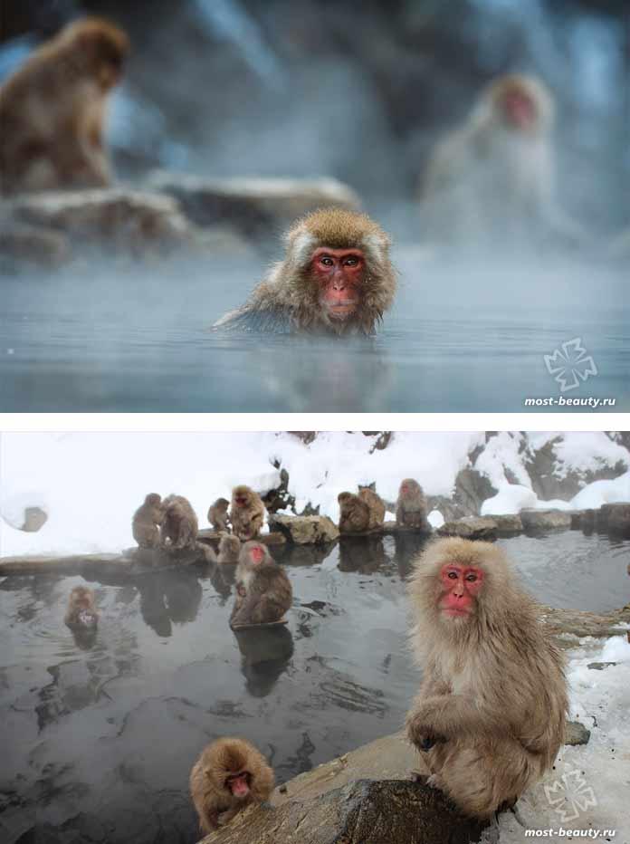 Самые красивые виды обезьян: Купающиеся макаки. CC0