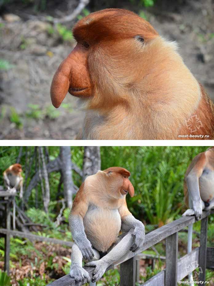 Самые красивые виды обезьян: Носач. CC0