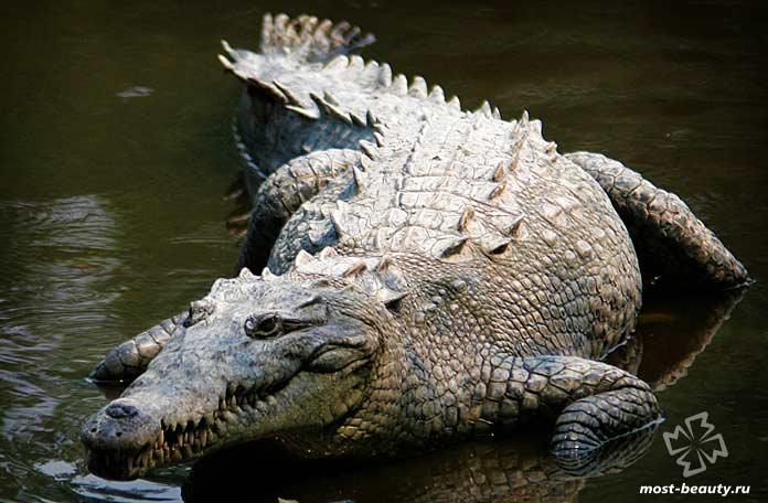 Острорылый крокодил. СС0