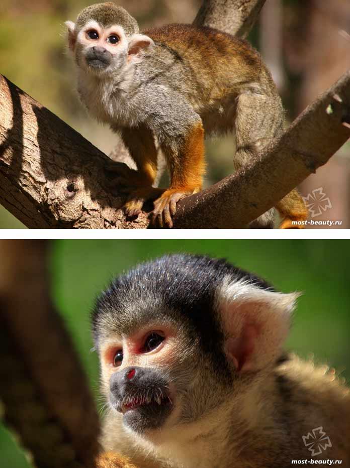 Самые красивые виды обезьян: Саймири. CC0