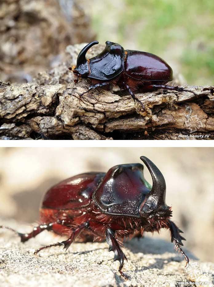 Фотографии красивых видов жуков: Жук-носорог