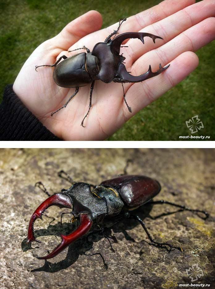 Красивые виды жуков: Жук-олень. СС0