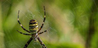 Ядовитые пауки. CC0