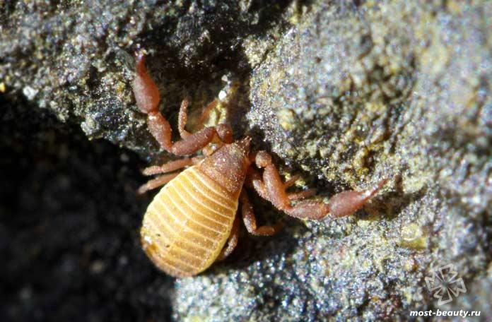 Aldabrinus aldabrinus