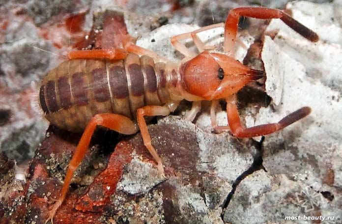 Сольпуги вида Ammotrechidae