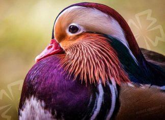 Красивые утки. CC0
