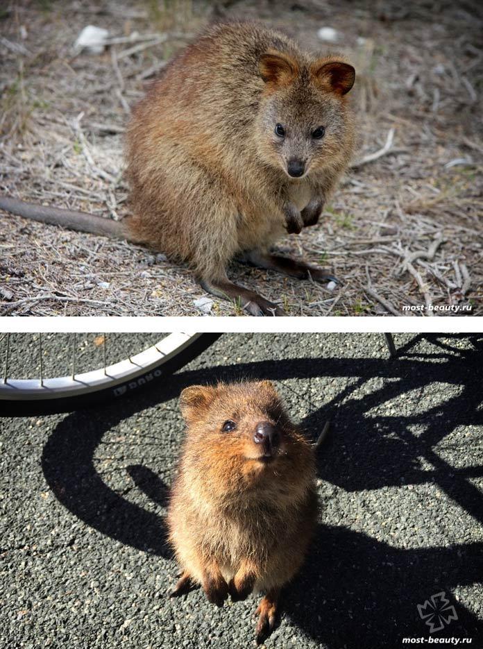 Самые популярные животные в Интернете: Quokka / Квокка. CC0