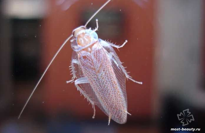 Самые опасные тараканы: Альбинос