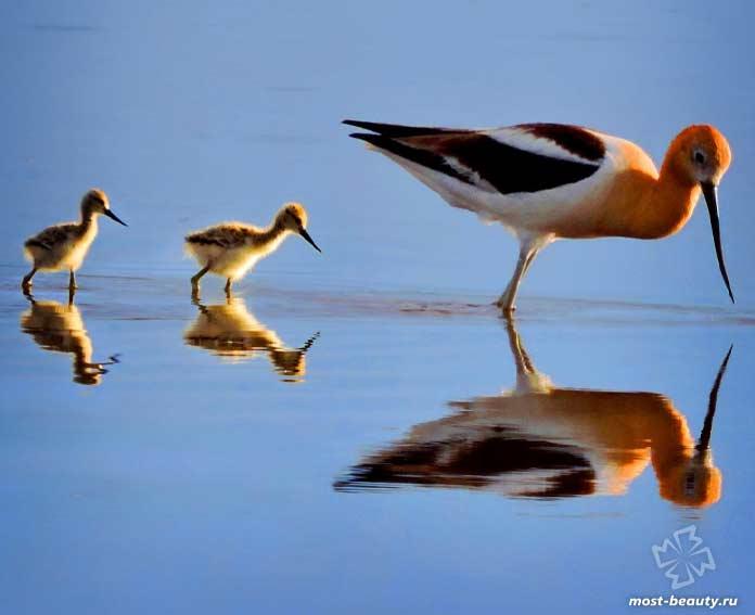 Необычные клювы птиц: Американская шилоклювка. CC0