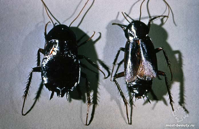 Чёрный таракан. CC0