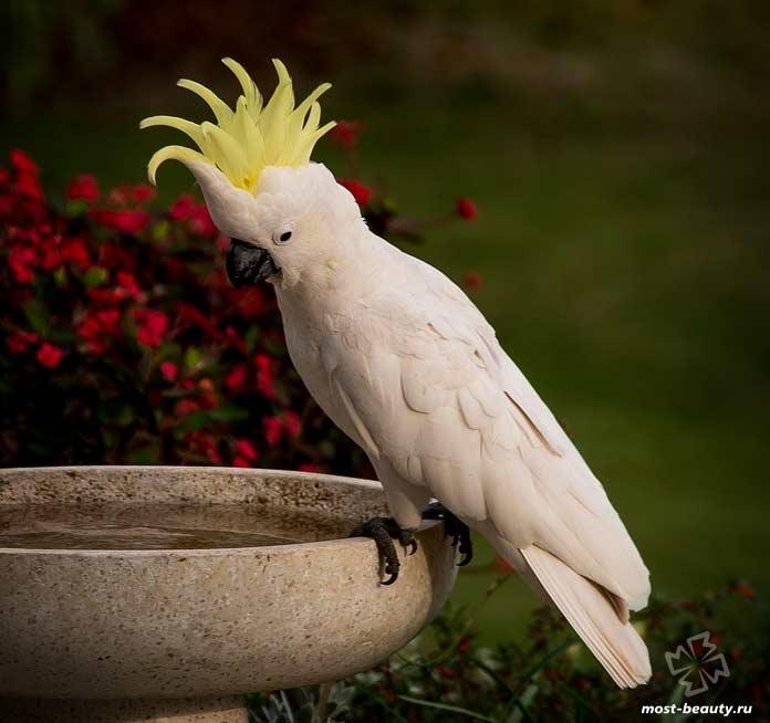 Птицы с красивыми хохолками: Какаду. Cc0