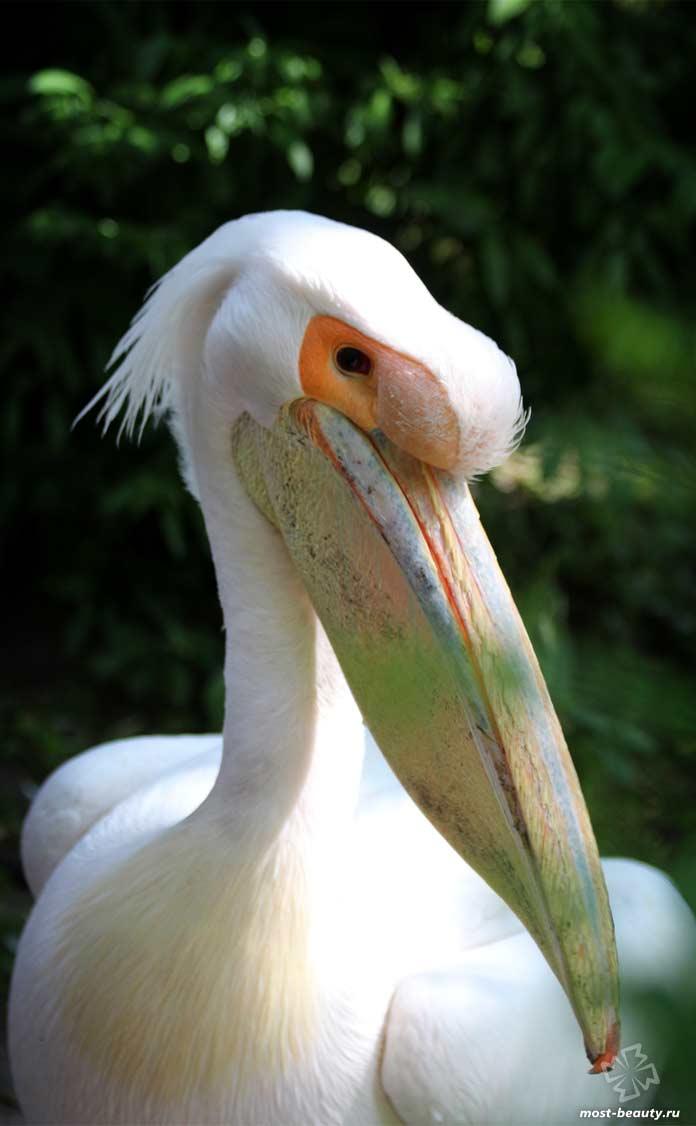 Необычные клювы птиц: Пеликан. CC0
