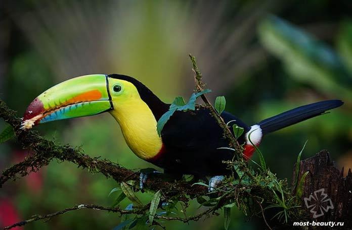 Птицы с красивыми клювами: Радужный тукан. CC0
