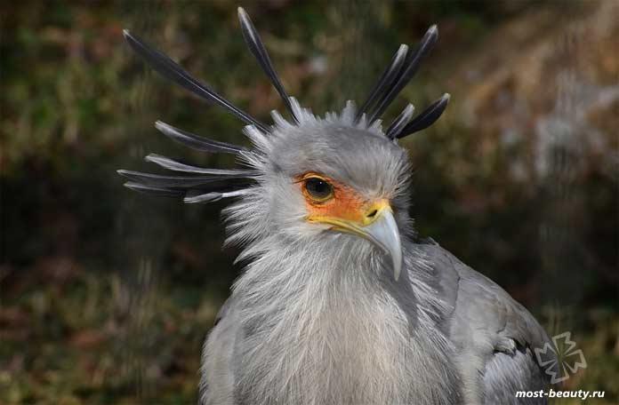 Птицы с красивыми хохолками: Птица-секретарь. CC0