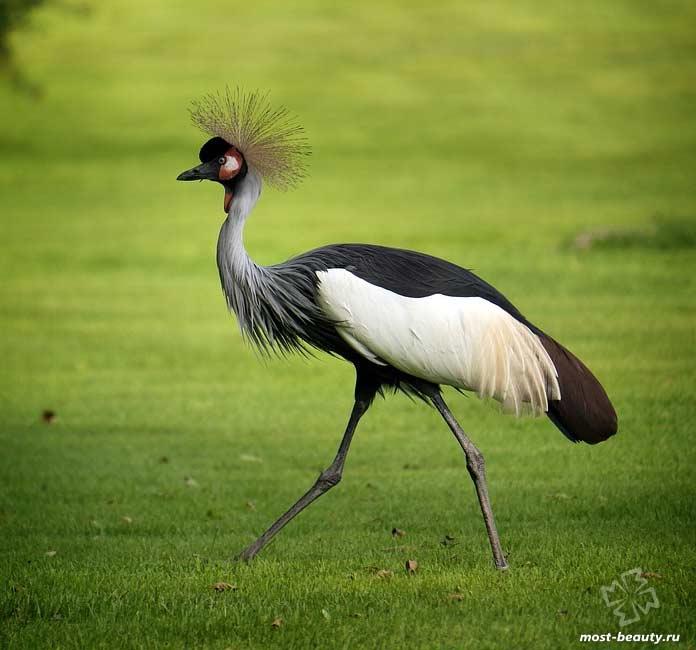 Птицы с красивыми хохолками: Серый венценосный журавль. CC0