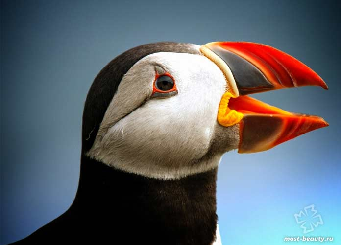 Птицы с красивыми клювами: Тупик. CC0