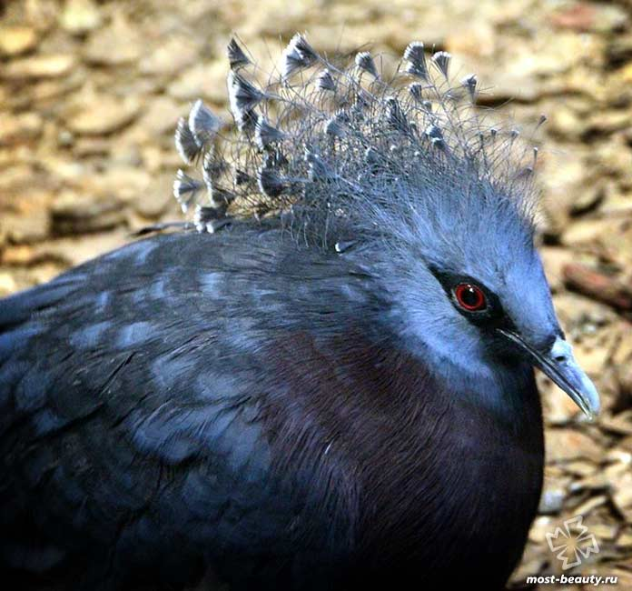 Венценосный голубь. CC0