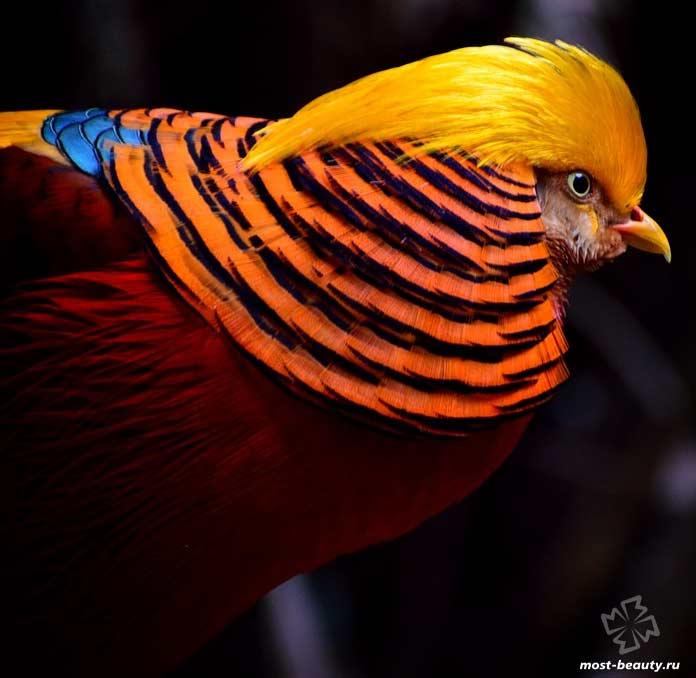 Золотой фазан. CC0
