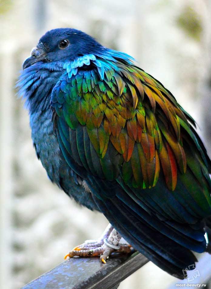 Птицы с красивыми хохолками: Никобарский голубь. CC0