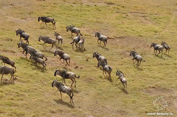 Красивые места Кении: Антилопы гну в Масаи-Мара.cc0