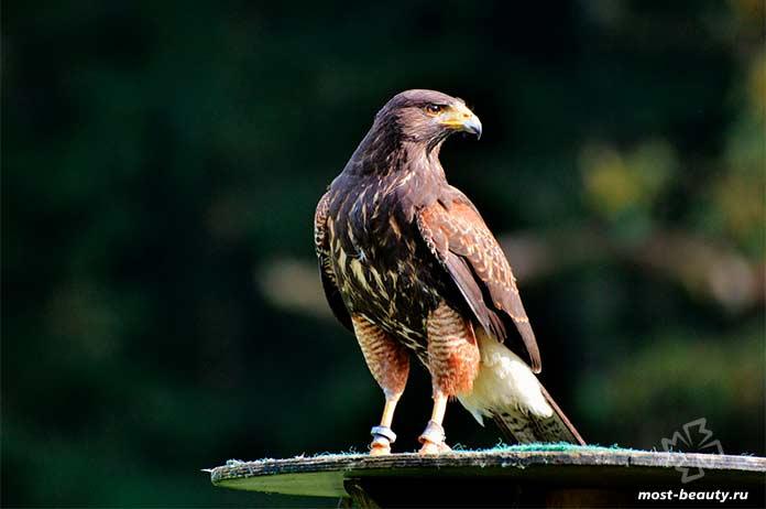 Удивительно красивые арктические птицы в мире: Сапсан cc0