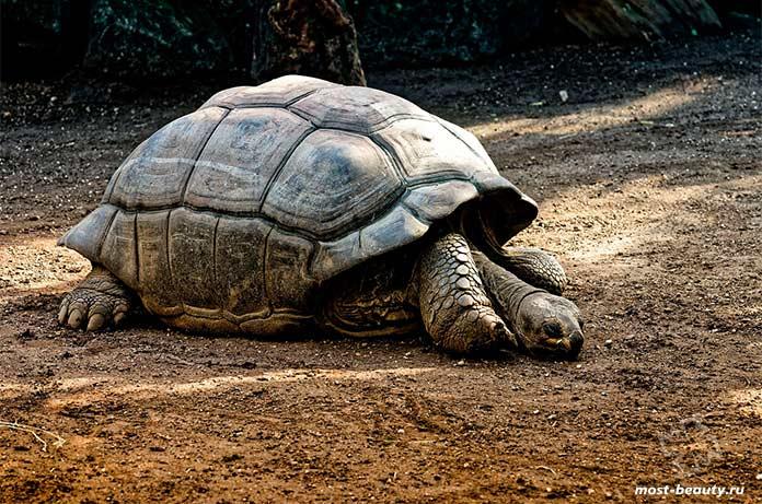 Галапагосская черепаха. cc0