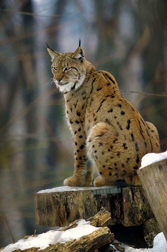 Балканская рысь - одна из диких кошек, которой угрожает исчезновение
