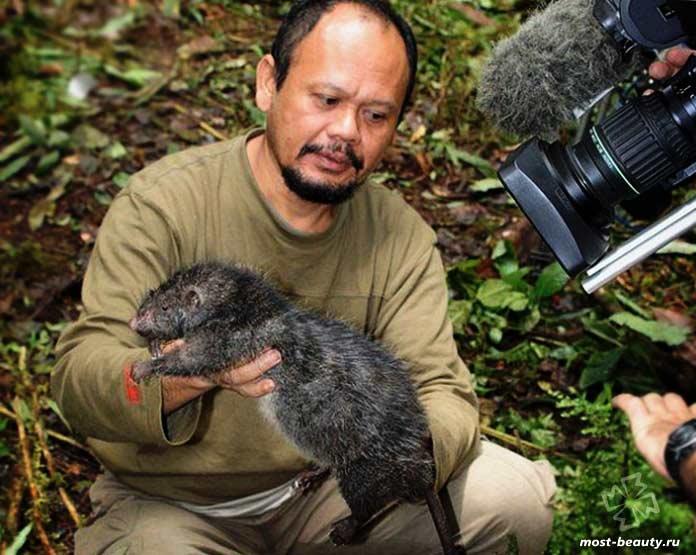Крысы острова Флорес
