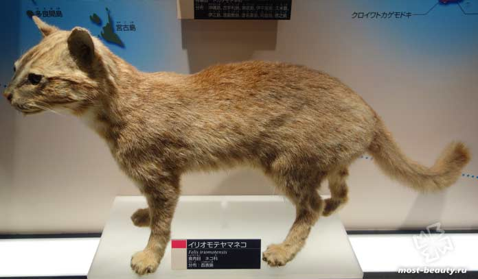 Ириомотейская кошка. CC0