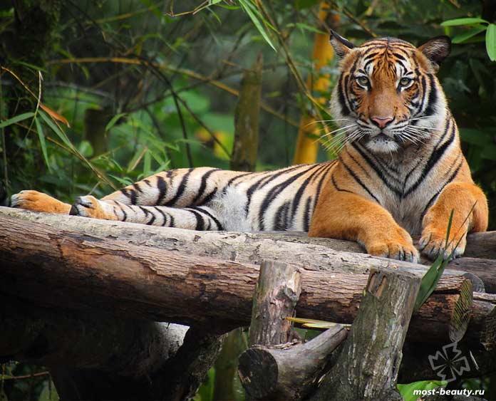 Малайский тигр - одна из диких кошек, которой угрожает вымирание