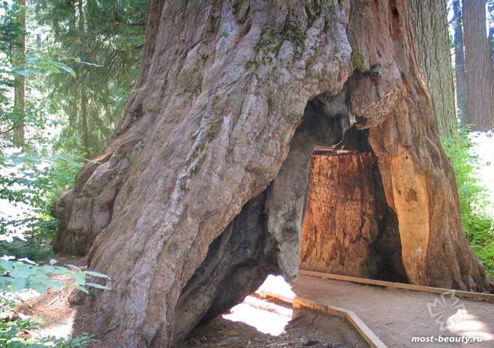 Pioneer Cabin Tree. CC0