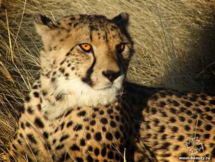 Северо-восточный африканский гепард - одна из диких кошек, которой угрожает вымирание. CC0