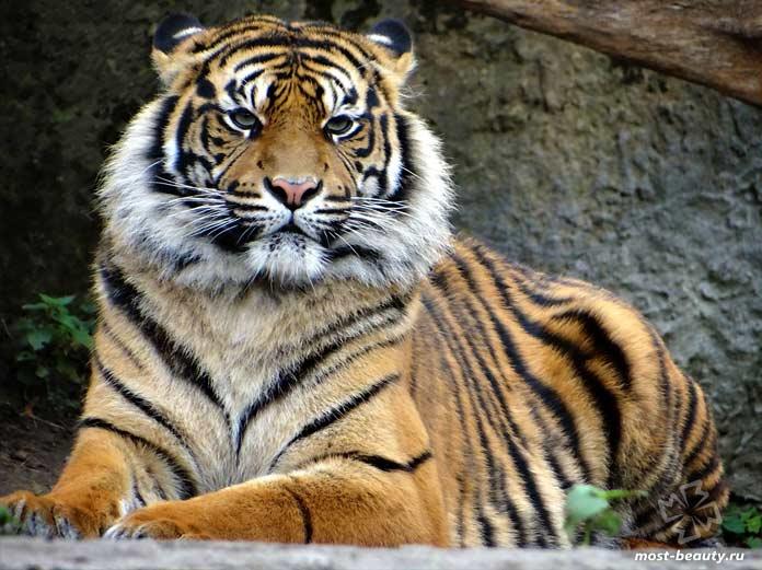 Суматранский тигр. CC0